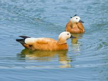 Male and defocused female Ruddy shelduck Tadorna ferruginea swimming close-up portrait, selective focus, shallow DOF Royalty Free Stock Photography