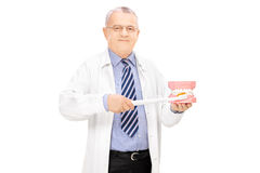 Male dentist holding a teeth sample made out of plaster cast and Stock Photography