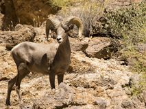 Male desert bighorn sheep at Canyon Lake, Arizona royalty free stock photo