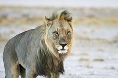 Male desert Lion Stock Photo