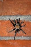 Male Desert Tarantula On A Brick Wall Royalty Free Stock Image