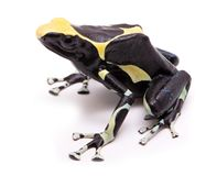 Male deying poison dart frog Dendrobates tinctorius stock images