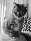 Black and white male tabby cat. Male diabetic tabby cat posing for a Royalty Free Stock Image