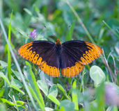 Male Diana Fritillary Stock Photo