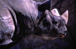 Male Diceros bicornis (Black rhinoceros or Hook-lipped rhinoceros). Stock Photo