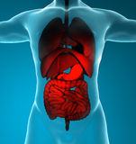 Male digestive and respiratory system Stock Image
