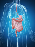 Male digestive system Stock Photography