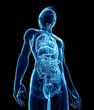 Male digestive system x-ray artwork Stock Photo