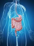 Male digestivkexsystem Arkivbild