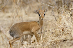 Male Dik-dik antelope. Male Dik-dik, the smallest antelope Royalty Free Stock Photos