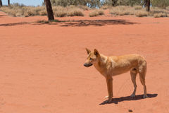 Male dingo in Red Centre, Australia Stock Image