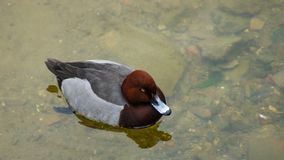 Male of diving duck Hybrid pochard or Aythya ferina x nyroca close-up portrait in river, selective focus, shallow DOF.  royalty free stock photo