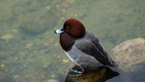 Male of diving duck Hybrid pochard or Aythya ferina x nyroca close-up portrait in river, selective focus, shallow DOF.  royalty free stock images