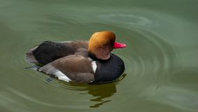 Male of diving duck Red-crested pochard or Netta Rufina swimming in river closeup portrait, selective focus, shallow DOF. Male of diving duck Red-crested pochard stock image