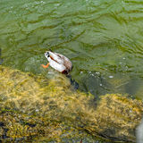 Male diving duck. Wild male duck while diving in the a clear river water for eating Royalty Free Stock Photography