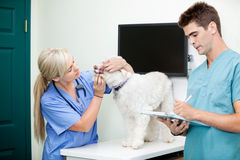 Male Doctor Writing On Clipboard With Colleague. Examining a dog at clinic Royalty Free Stock Images