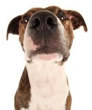 Male Dog. Wide angle Portrait of a Healthy Male Mongrel Dog Stock Photo