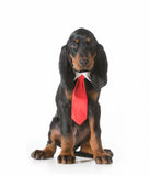 Male dog Royalty Free Stock Photo