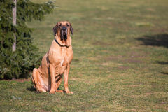 Male of dog breed Fila Brasileiro, Brazilian Mastiff in park Stock Photo