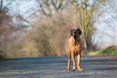 Male of dog breed Fila Brasileiro, Brazilian Mastiff in park Royalty Free Stock Photography