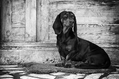 Male dog, dachshund Stock Photo