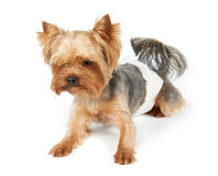 Male dog in diapers Royalty Free Stock Images