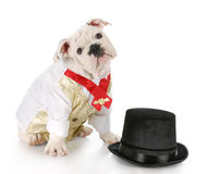 Male dog dressed up Stock Image