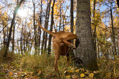 Male dog peeing on tree Stock Photo