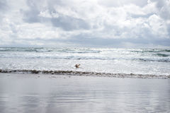 Male dog playing with a stick in the ocean Royalty Free Stock Photo