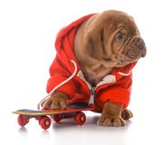 Male dogue de bordeaux puppy. Riding a skateboard on white background Royalty Free Stock Images