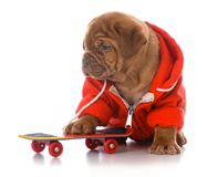 Male dogue de bordeaux puppy. Riding a skateboard on white background stock photo