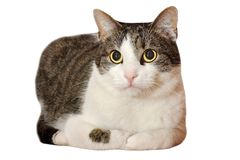 Male domestic kitten on white Stock Images
