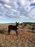 Male Donkey waiting to be fed in drought conditions with cloudy sky. Donkey Bill stands guard at a large ranch in Bradley California between Lake San Antonio and stock image