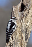Male Downey Woodpecker (Picoides pubescens) Stock Images