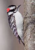 Male Downy Woodpecker. Stock Photo