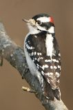 Male Downy Woodpecker. A male Downy Woodpecker seen at the Great Swamp NWR in NJ Stock Photos
