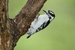 Male Downy Woodpecker Royalty Free Stock Photos