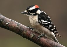 Male downy woodpecker royalty free stock photo