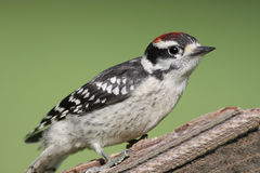 Male Downy Woodpecker Stock Photography