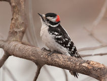 Male Downy Woodpecker. A beautiful male Downy Woodpecker, sporting the red spot on back of his head, perches on a winter branch as he approaches a northern Stock Image