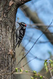 Male Downy Woodpecker clinging to tree Stock Photography