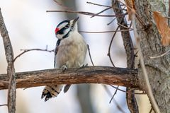 A Male Downy Woodpecker stock image