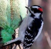 Male Downy Woodpecker Royalty Free Stock Photos