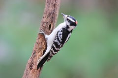 Male Downy Woodpecker in Fall Stock Image