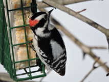 Male Downy Woodpecker hanging off and eating from a suet feeder. Male Downy Woodpecker hanging of and eating from a suet feeder.Vibrant black and white markings Royalty Free Stock Photos
