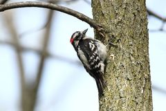 Downy Woodpecker. A male Downy Woodpecker hunting for insects on a tree Royalty Free Stock Image