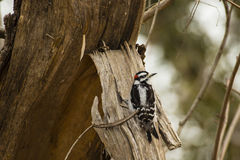 Male Downy Woodpecker Stock Images
