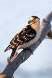Downy Woodpecker Male Stock Photos