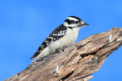 Male Downy Woodpecker (picoides pubescens) Royalty Free Stock Photos
