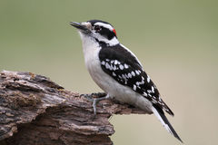 Male Downy Woodpecker (picoides pubescens) Stock Photography